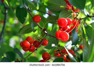 Bunch of Red Cherries on the tree