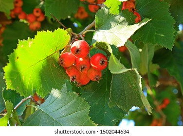 Bunch red fruits of Crataegus monogyna or hawthorn, quickthorn, thornapple, May-tree, whitethorn, hawberry in green foliage on branch in garden in sunny day. Selective focus