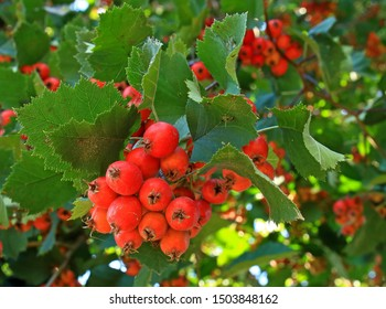 Bunch red fruits of Crataegus monogyna or hawthorn, quickthorn, thornapple, May-tree, whitethorn, hawberry in green foliage on branch in garden. Selective focus