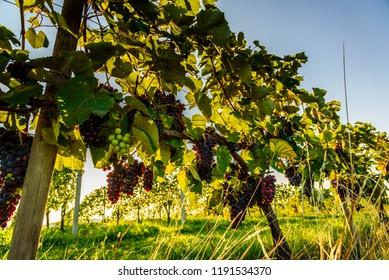 Bunch of red gapes on a crop before ripe Styria Steiermark Austria summer autumn