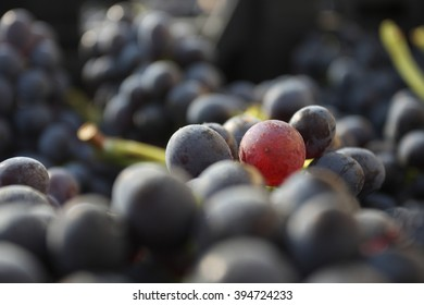 Bunch red grapes, Amarone, Valpolicella, Verona, Italia