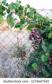 A bunch of red grapes hanging from a vine.