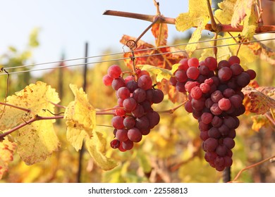 Bunch of red grapes in the vineyard in autumn