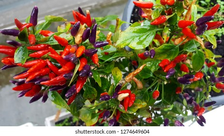 Bunch of red hot chili pepper (candlefire) in the garden ,colors from yellow to red and purple