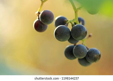 A bunch of red Isabella grapes close up. Blue berries in the vineyard at autumn season