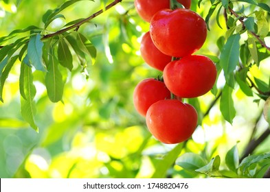 bunch of red tomatoes in green background