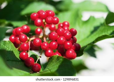 Bunch of red viburnum in the green foliage