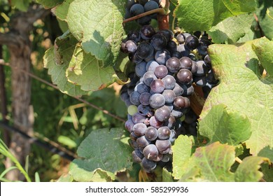 Bunch of red wine grapes on vine in a vineyard near Stavros Beach in Crete Island, Greece.