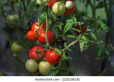 A bunch of red and yellow tomatoes on a branch. Fresh harvest