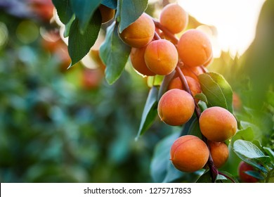 A bunch of ripe apricots branch in sunlight