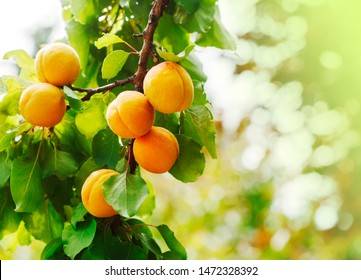 Bunch of ripe apricots in sunlight