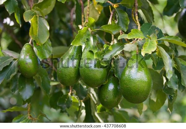 Bunch of ripe avocados, selective focus