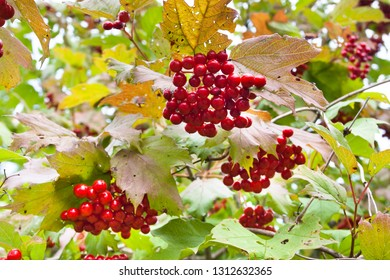 a bunch of ripe berries of viburnum grows on a bush