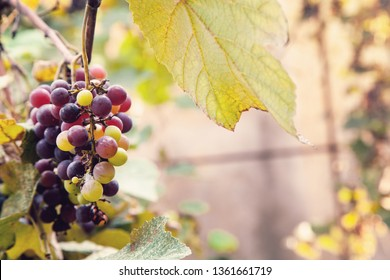 Bunch of ripe black grapes.