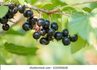 Bunch of ripe blackcurrants growing on a bush