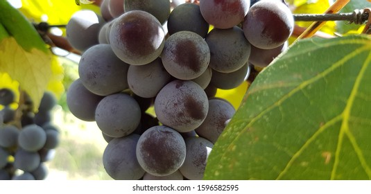 A bunch of ripe dark blue grapes Isabella in yellow and green leaves on the vine