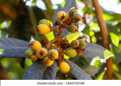 """Bunch of ripe fruit loquat (Eriobotrya japonica), also known in Brazil as """"yellow plum"""""""