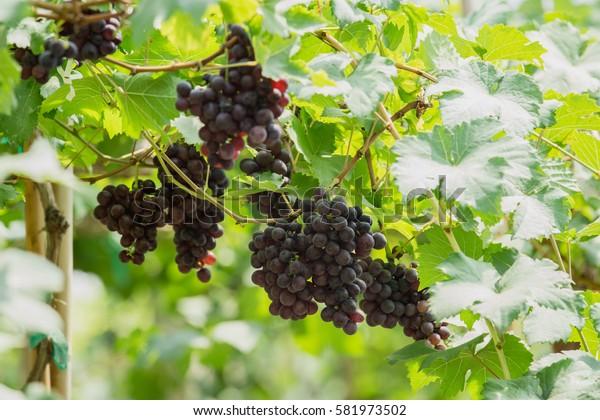 Bunch of ripe grapes (BLACKOPOR) on a vine in agricultural garden