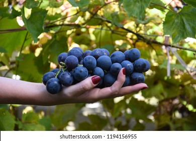 Bunch of ripe grapes in woman's hand. Woman hands with freshly harvested sweet grapes