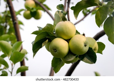 A Bunch Of Ripe Green Apples On A Branch In The Garden