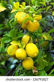 Bunch of ripe lemons
