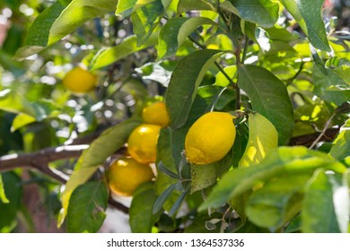 Bunch of ripe lemons on tree