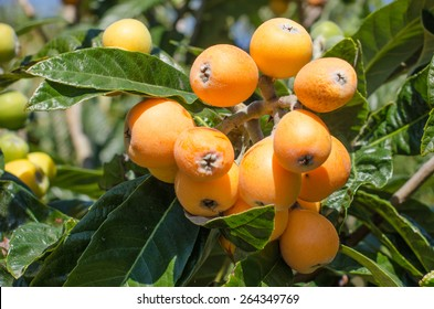 Bunch of ripe loquats in the tree.