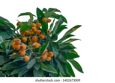 Bunch of ripe loquats in the tree at a private garden