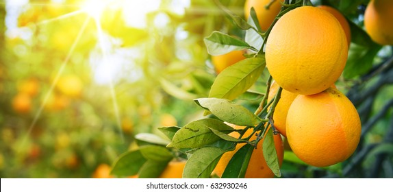 Bunch of ripe oranges hanging on a tree, Spain, Costa Blanca