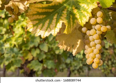 bunch of ripe pinot gris grapes growing on vine in organic vineyard at harvest time