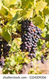 bunch or ripe pinot noir grapes on vine in vineyard
