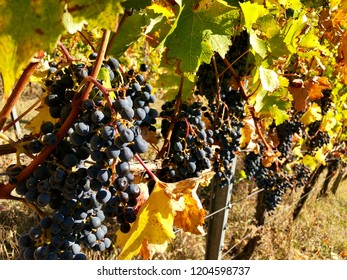 Bunch of ripe purple grapes on a vine in autumn ready for harvest