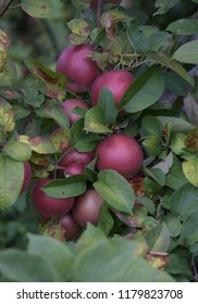 A bunch of ripe, red apples hanging in a tree