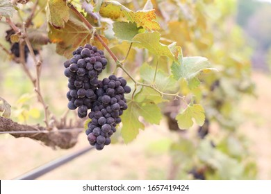 bunch of ripe red grapes hanging on a vine on green leaves with blur background. Plantation of grape-bearing vines, growing for making wine, jam and juice.