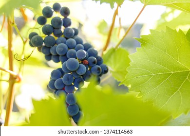 Bunch of ripe red grapes on the vine in ligths of sun.
