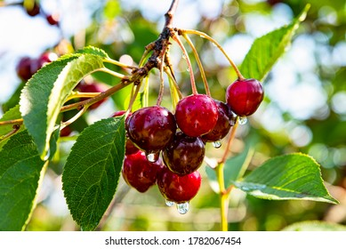 Bunch of ripe sour cherries hanging on a cherry tree branch. Water droplets on fruits growing in cherry orchard after the rain