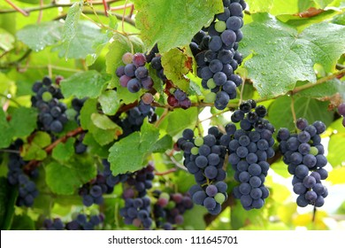 A bunch of Ripe Strawberry Grapes, grown in South Tirol during summer in Italy. Fresh grapes have sweet strawberry flavors.