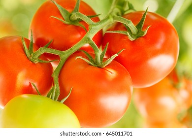 A bunch of ripe tomatoes in a greenhouse