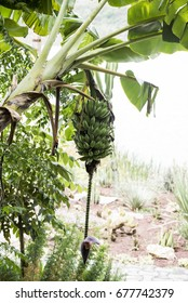 Bunch of ripening bananas on tree in Addis Ababa Ethiopia