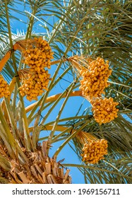 Bunch of ripening dates fruit in plantation of date palms, agriculture industry in the Middle East and Mediterranean regions