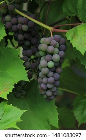 Bunch of ripening grapes in green leaves. Isabella grapes close-up.