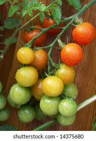 Bunch of riping tomatoes covered with waterdrops