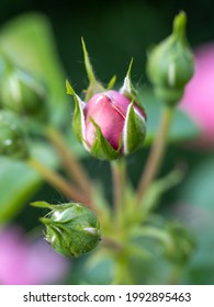 bunch of rose buds in the morning sun