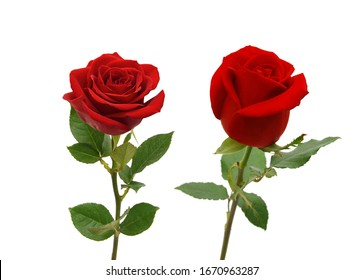 Bunch of rose flowers on white background