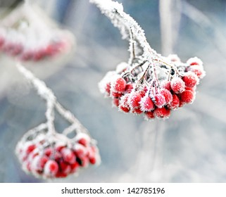 Bunch of rowan berries with ice crystals on blue cold sky
