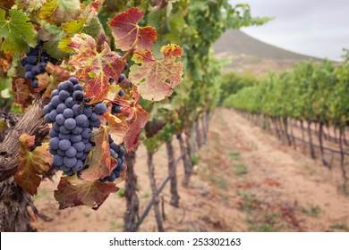 Bunch of Shiraz grapes on vine in autumn vineyard