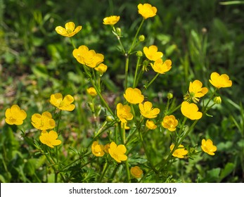 Bunch of small common or meadow Buttercup, yellow flowers, close up. Wild Ranunculus acris, is a species of flowering plant in Ranunculaceae family. Fresh tall buttercup have five overlapping petals.