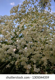 Bunch of small white elderflowers (Sambucus nigra)