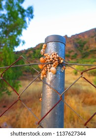 bunch of Snails on metal fence post absorbing night moisture in Andalusian Countryside