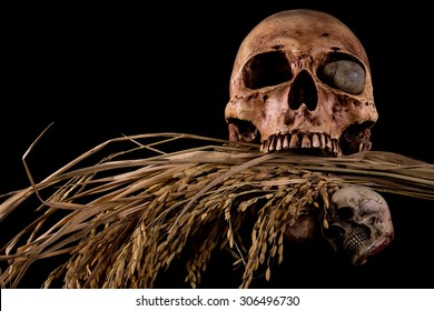 Bunch of spike rice and Human Skull, Farmer family Starve to death , poor farmer concept